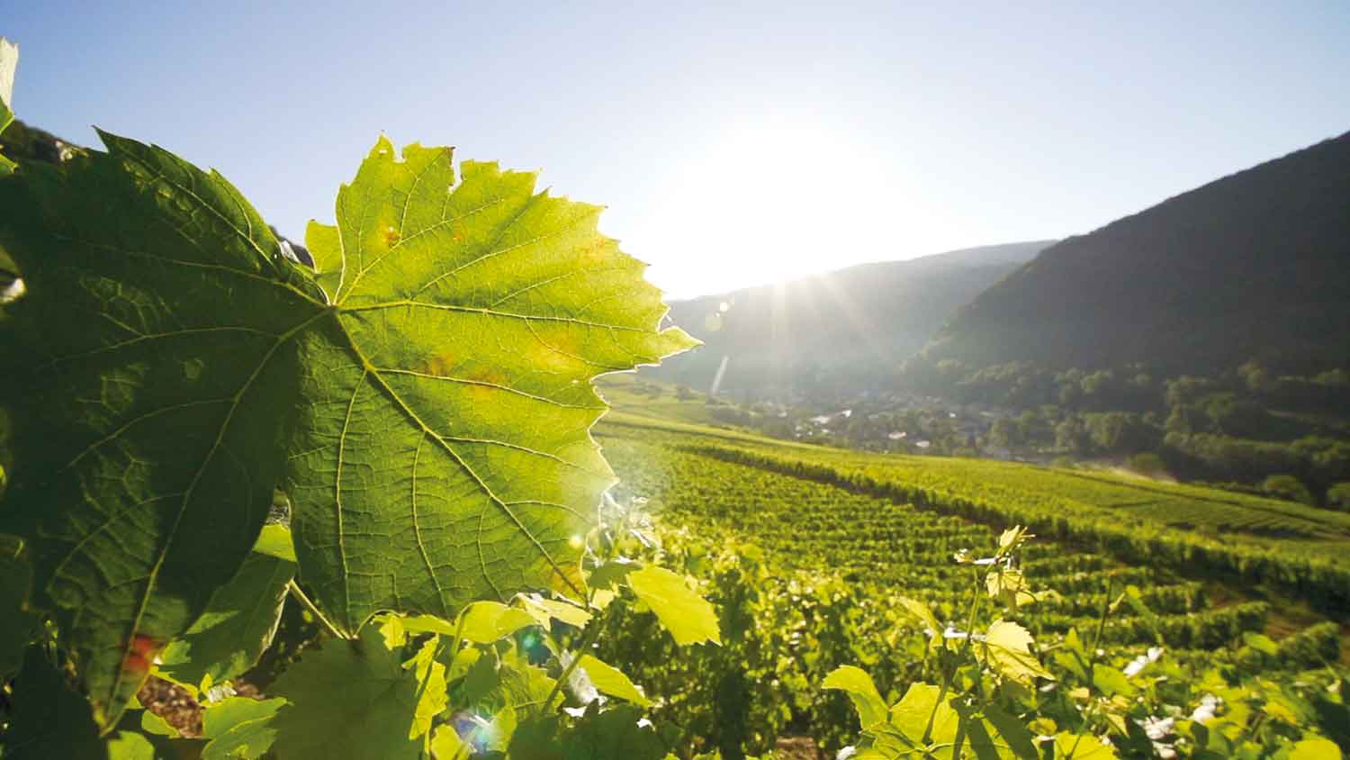 The vineyard of Bugey